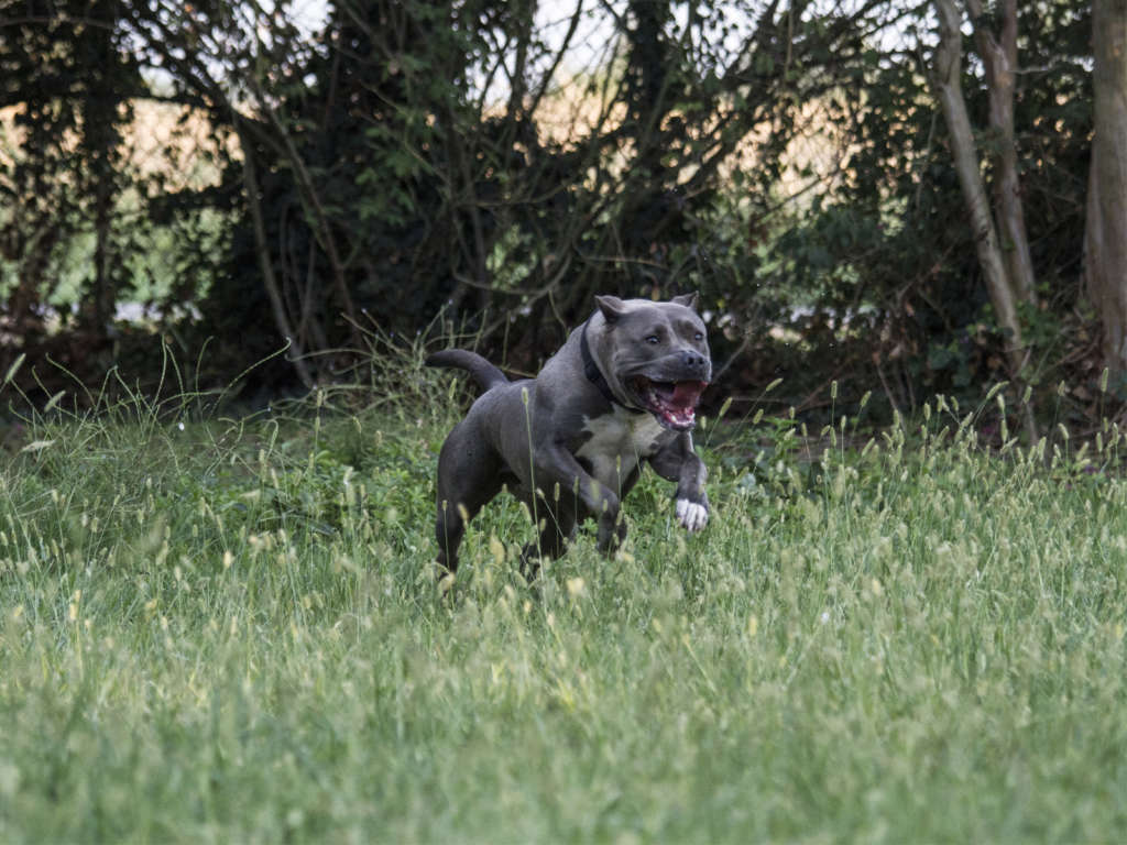 pitbull forest house