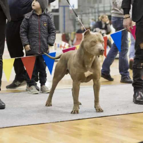 red nose american pitbullt terrier