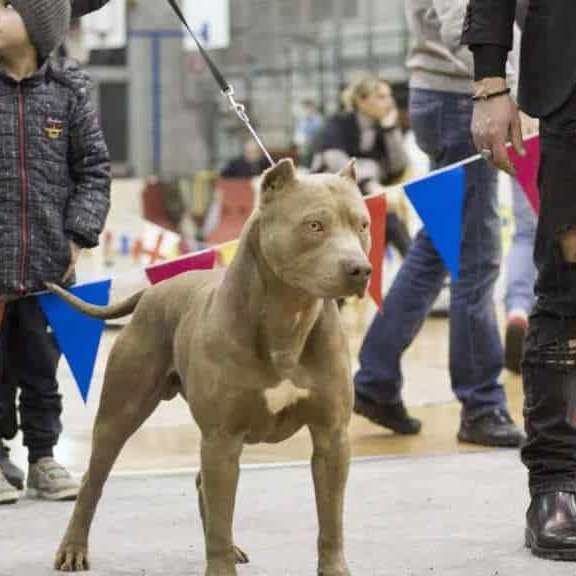 Ameican Pit Bull Terrier Maschio - Red jack in mostra