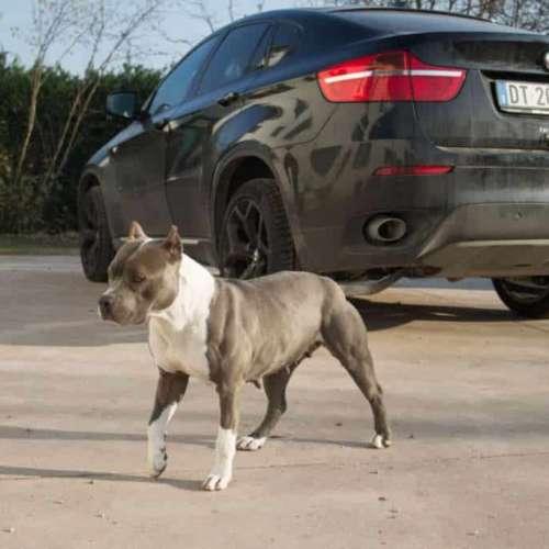 joy blu American Pitbull Terrier UKC