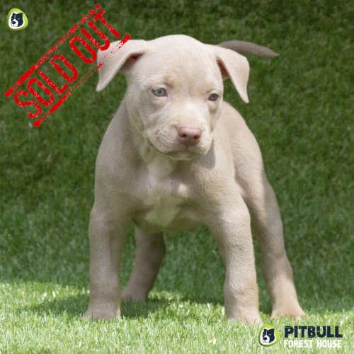 pitbull blue nose