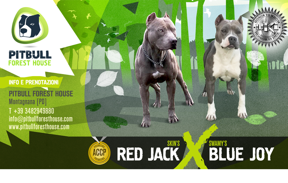 breeding pitbull