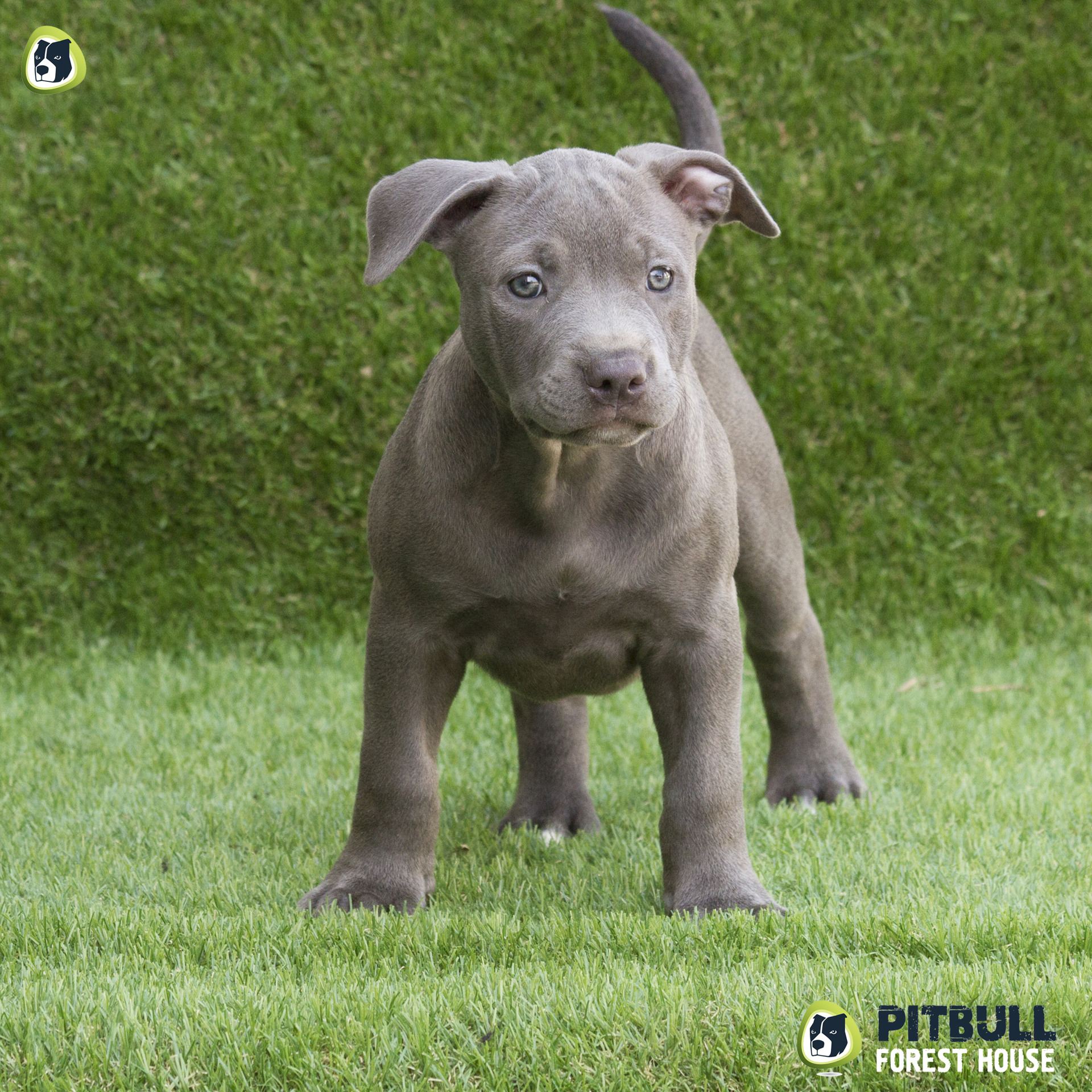 pitbull forest house