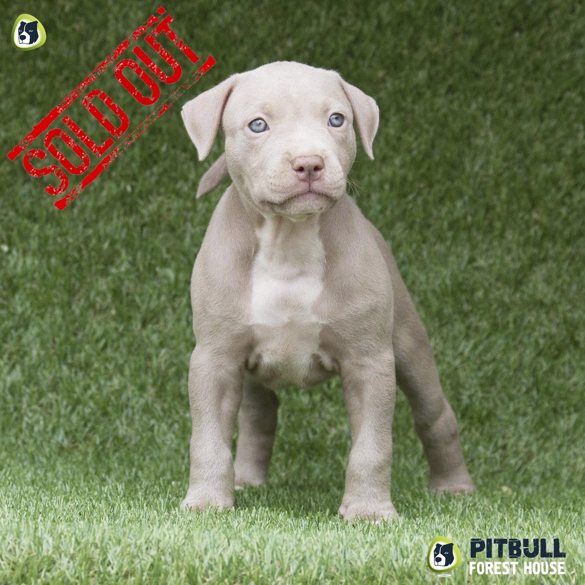 Cucciolo pitbull silver