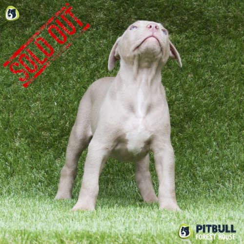addestramento pitbull american