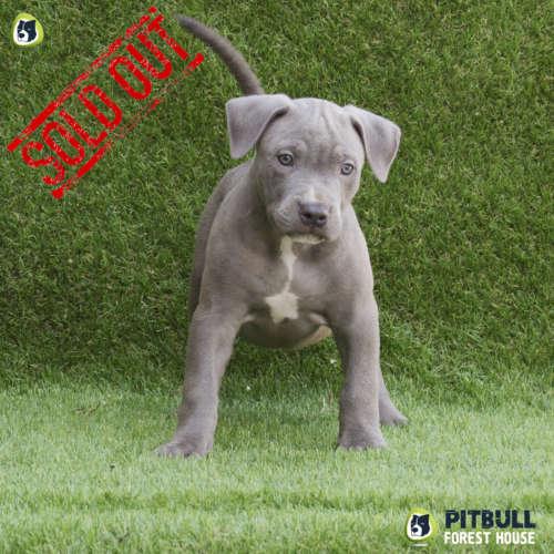 grey american pitbull terrier