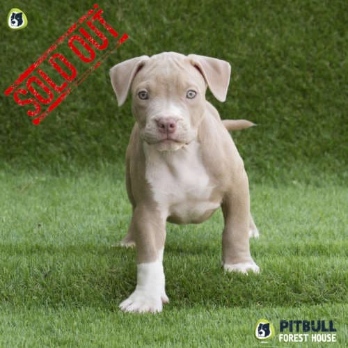 american pitbull terrier breed standard