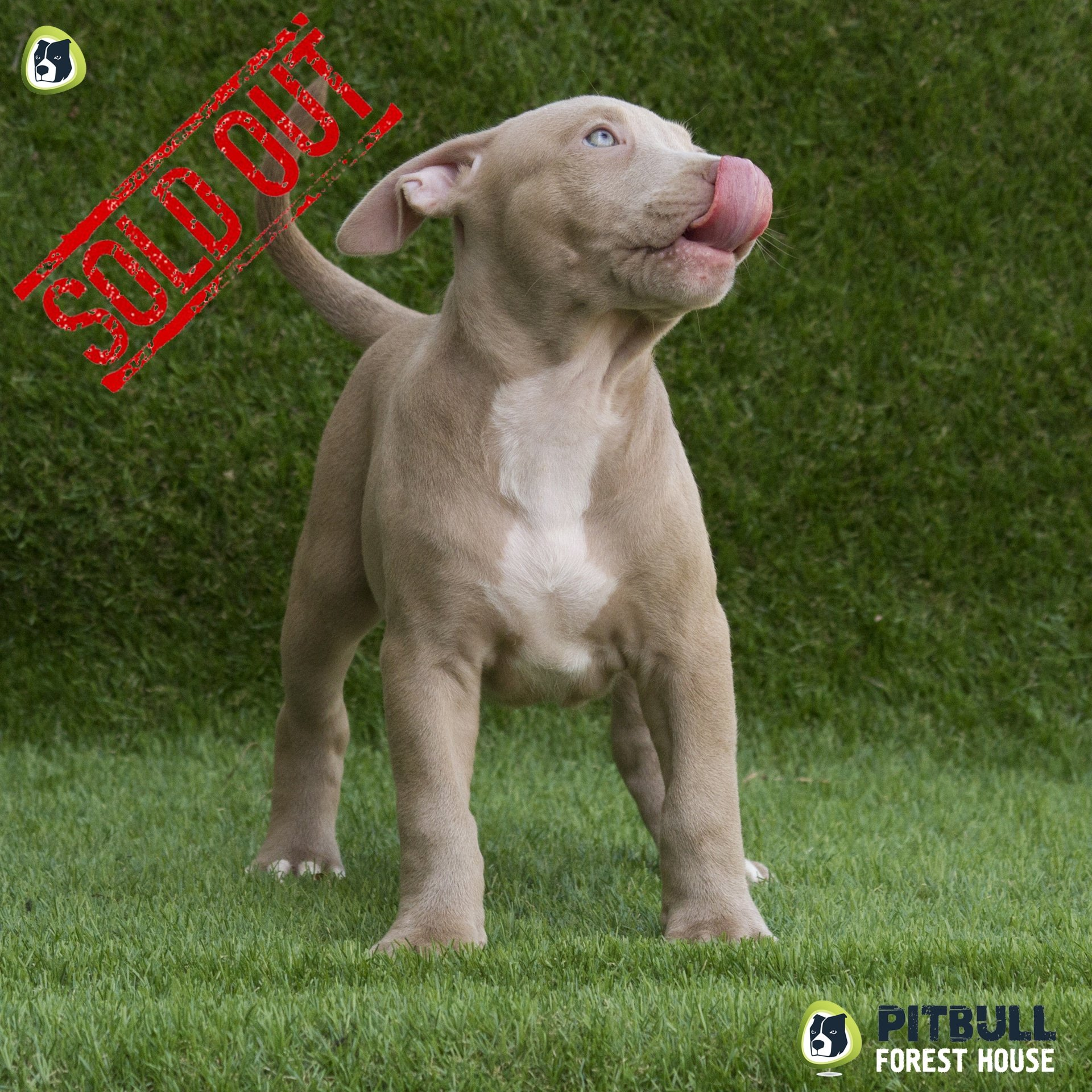 pitbull red nose Ventimiglia