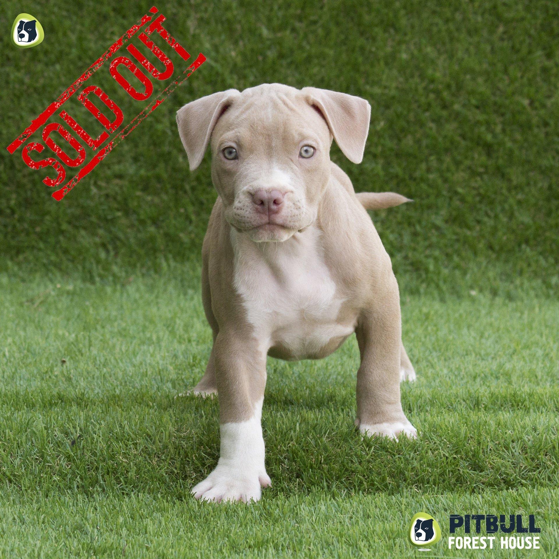 cucciolo-pitbull-champagne