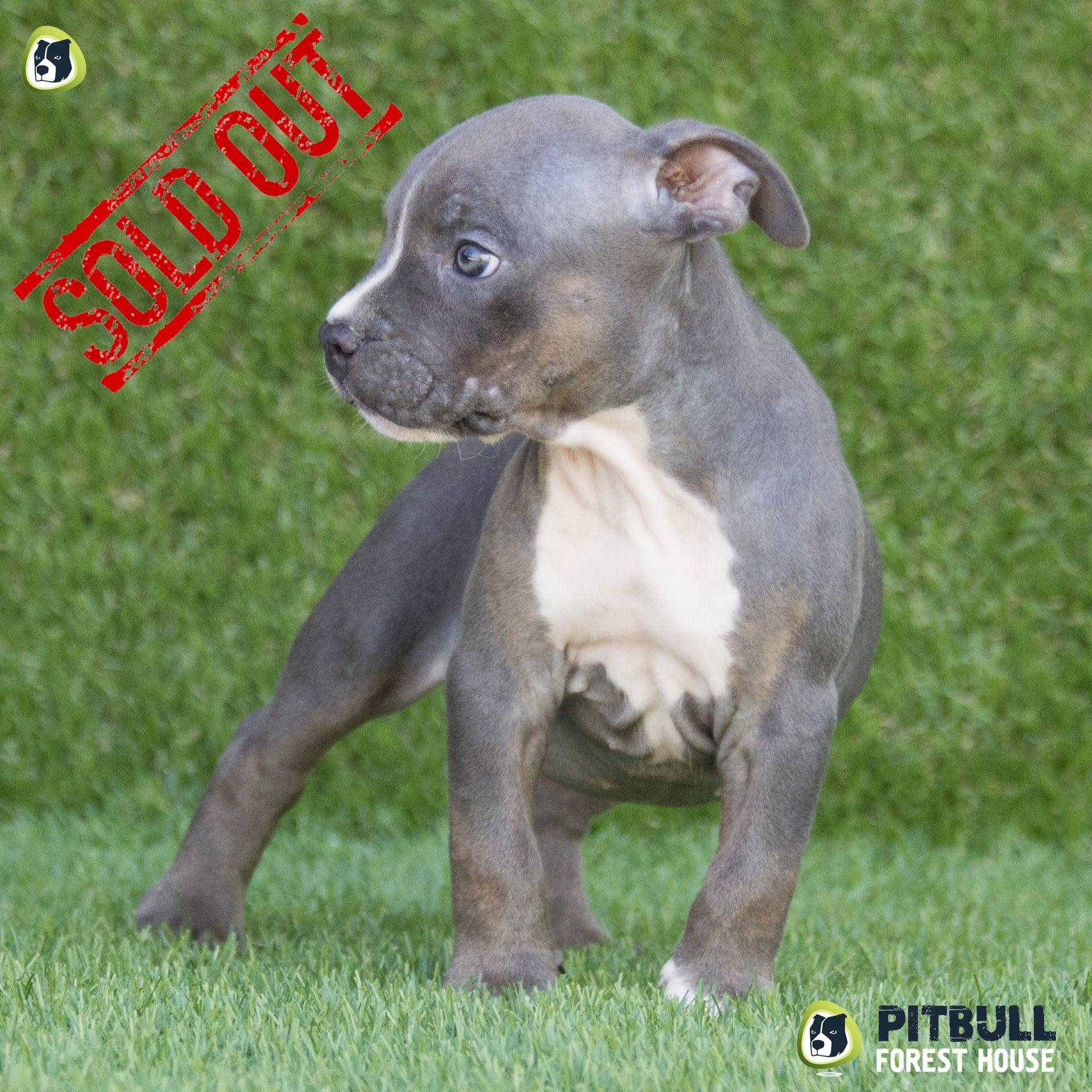american pitbull terrier ukc puppy