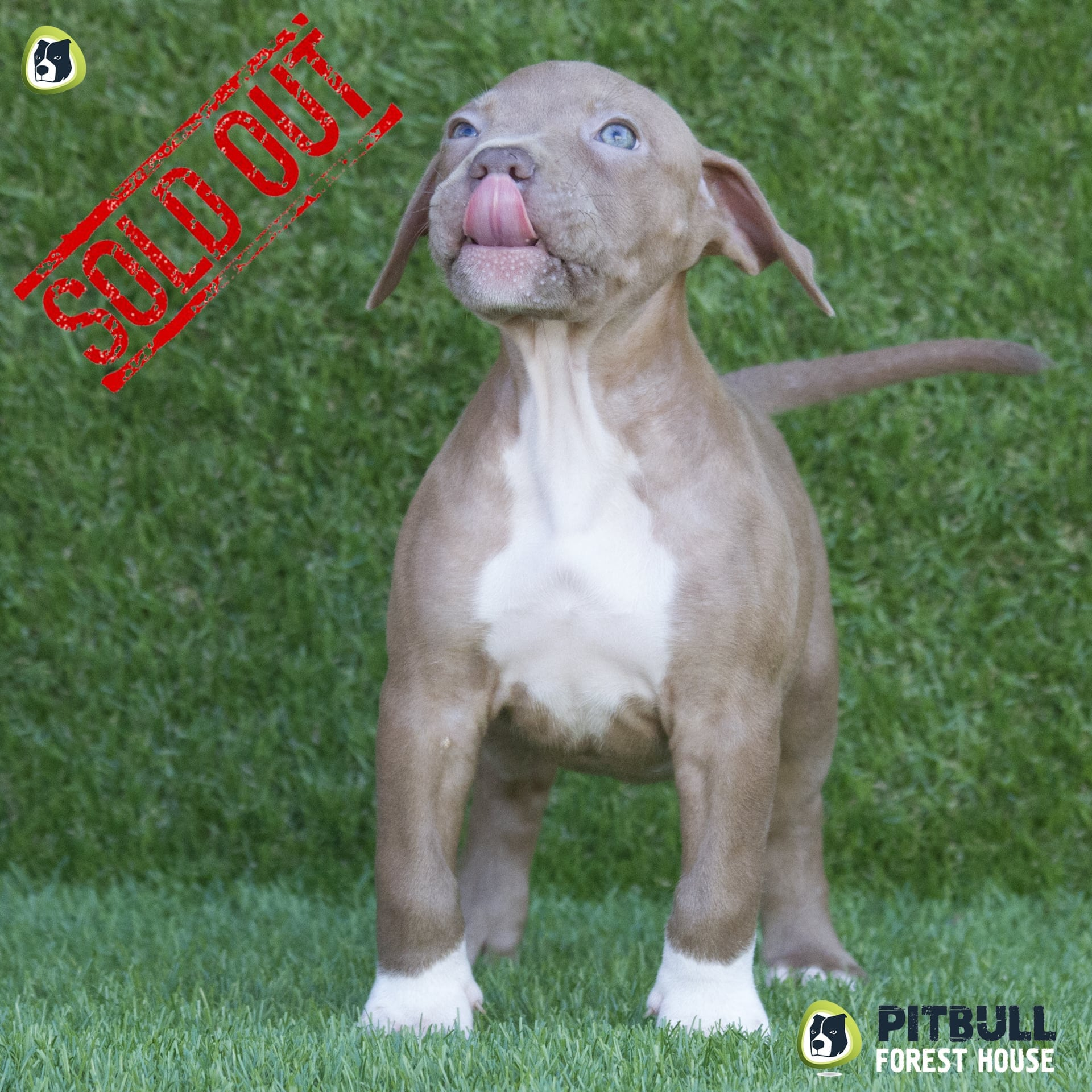 pitbull red nose cuccioli