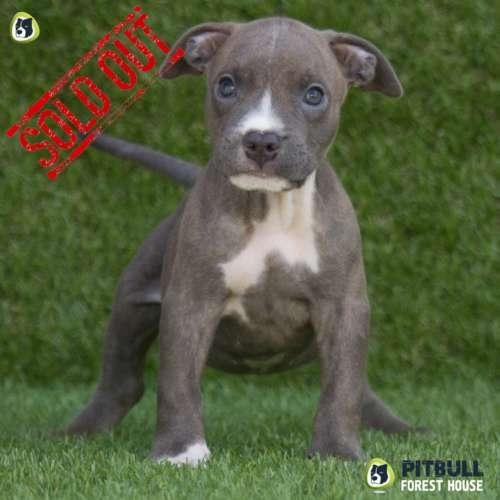 blue nose pitbull ukc