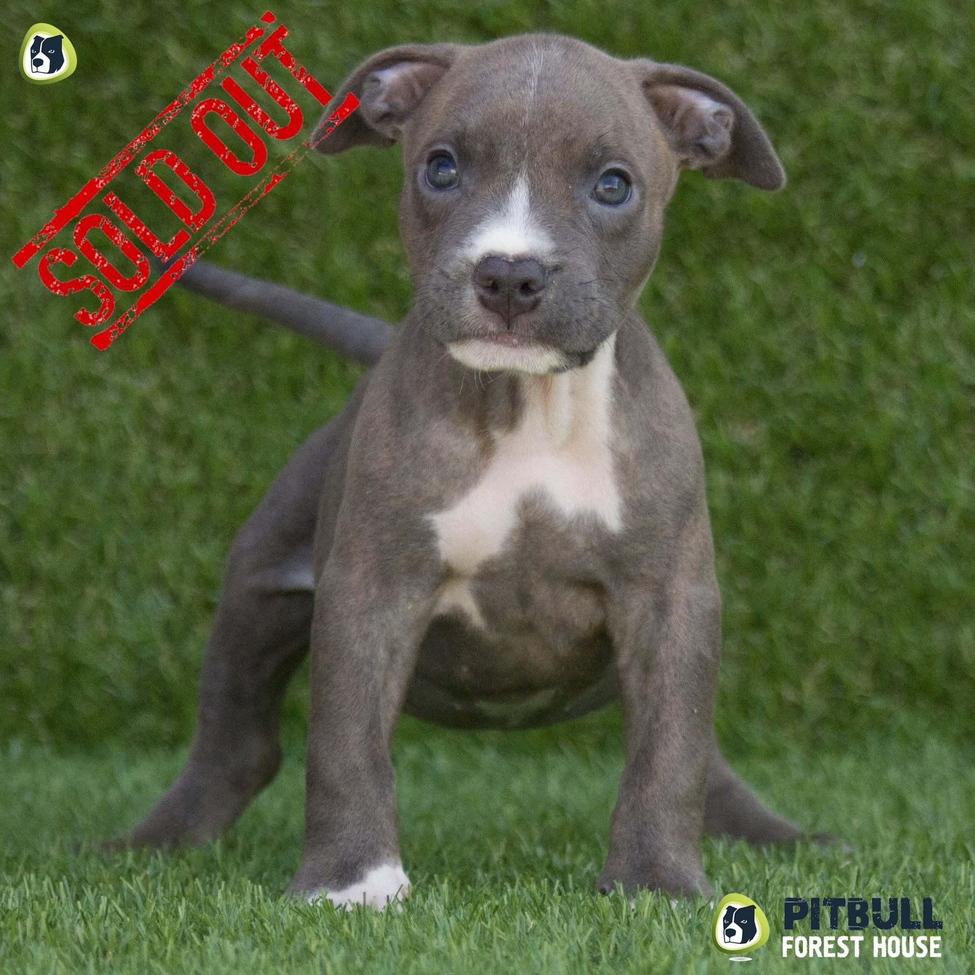 pitbull red nose carattere