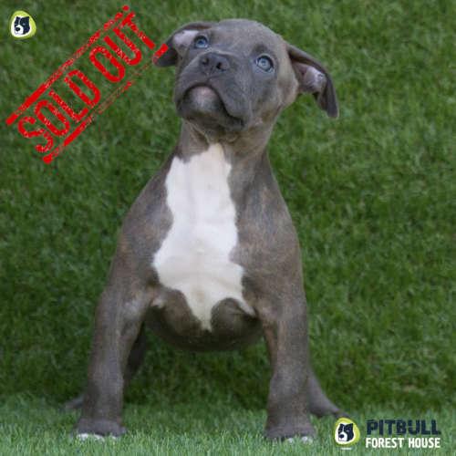 pitbull american terrier cucciolo