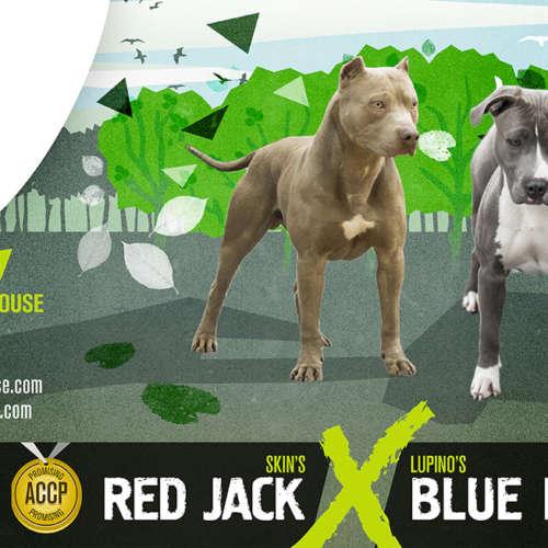 american pitbull breeding