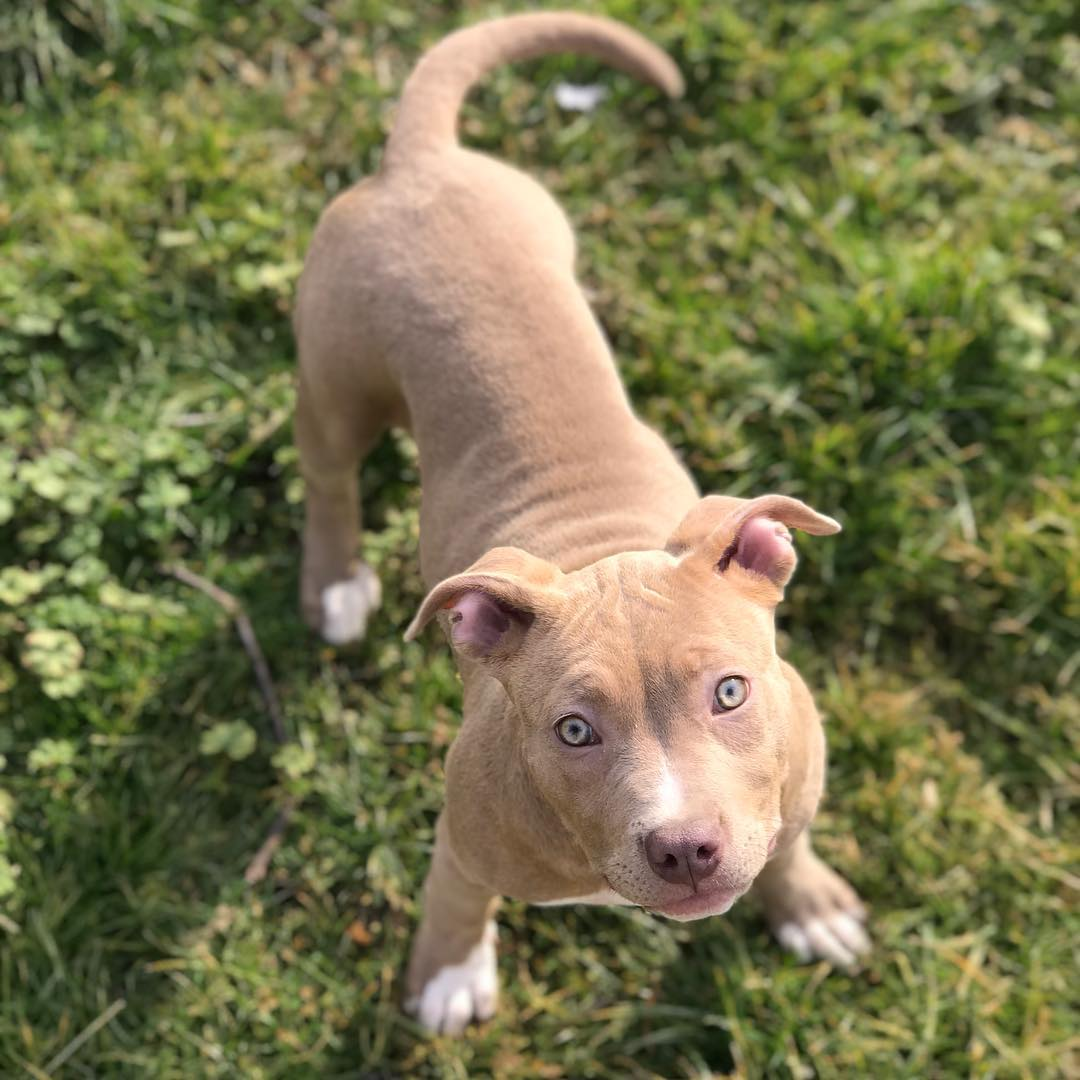 red nose pitbull puppy Miami
