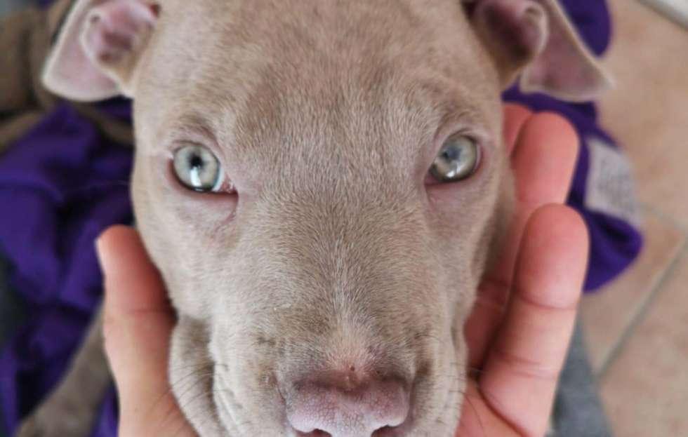 pitbull red nose cuccioli