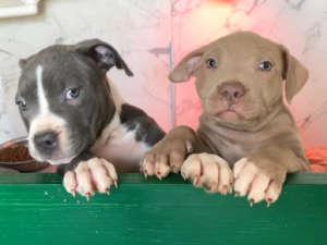 Allevamento Pitbull Terrier Red E Blue Nose In Italia Pitbull