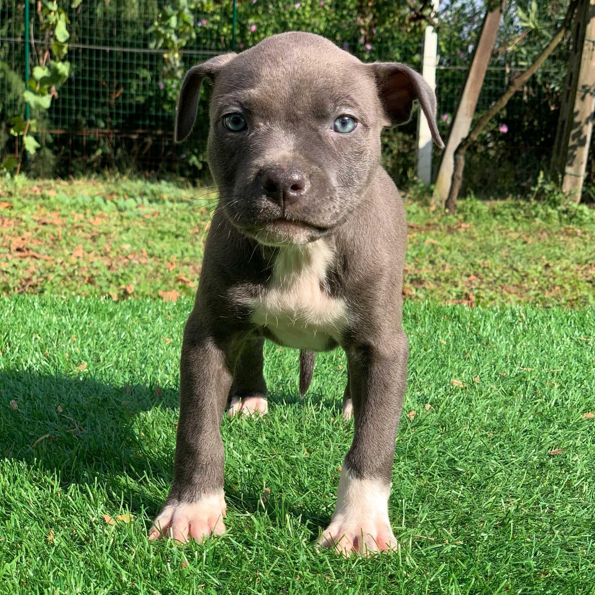 pitbull-blu-nose