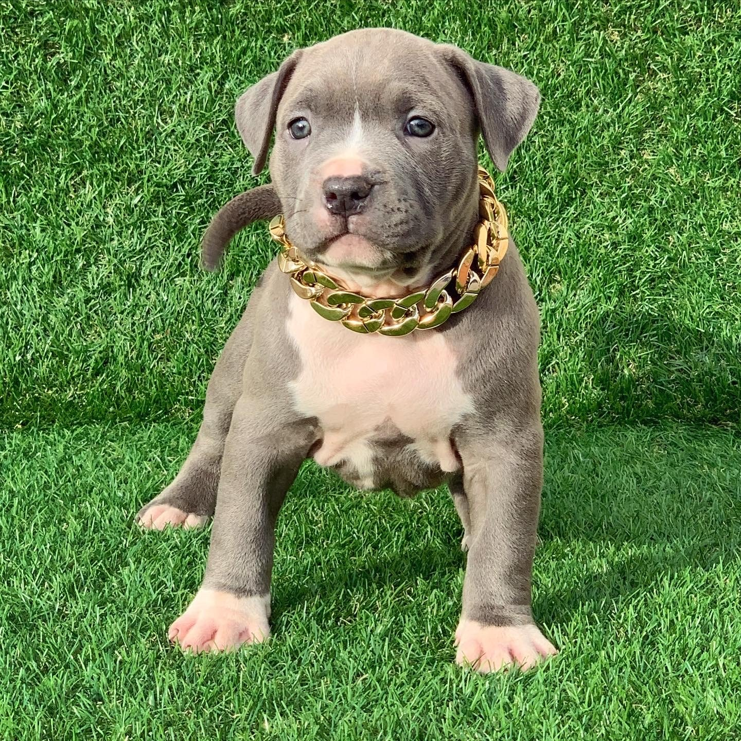 pitbull blue nose